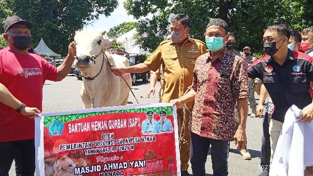 Gubernur Olly Dondokambey SE menyerahkan Hewan Qurban Sapi bagi Umat Muslim Sulut, Senin (19/07/2021)